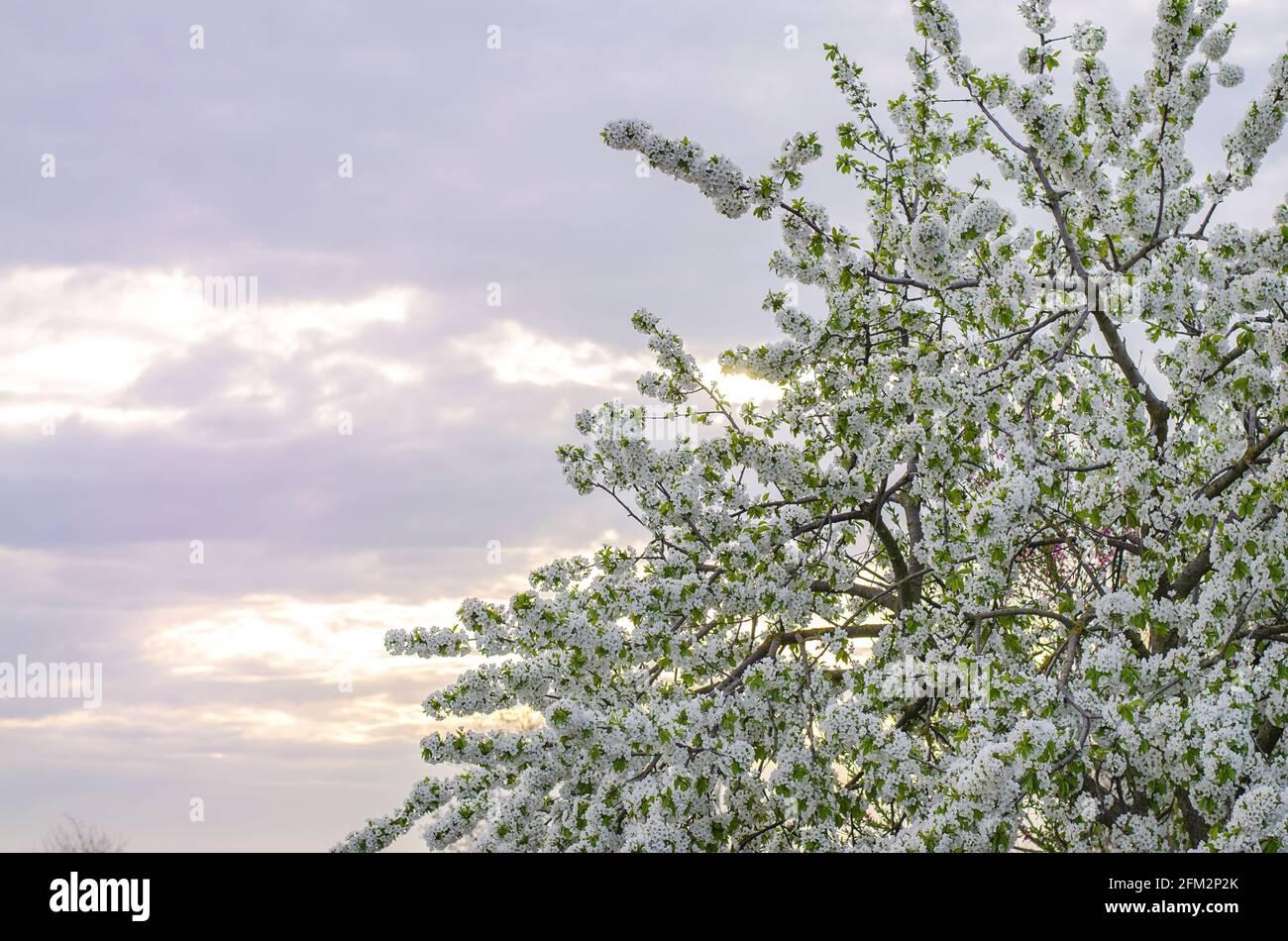 Cerezo en flor en el fondo del cielo de la puesta de sol de la noche. Brotes árboles florecientes. Concepto de primavera. Agricultura y agroindustria. Cultivo de cerr Foto de stock