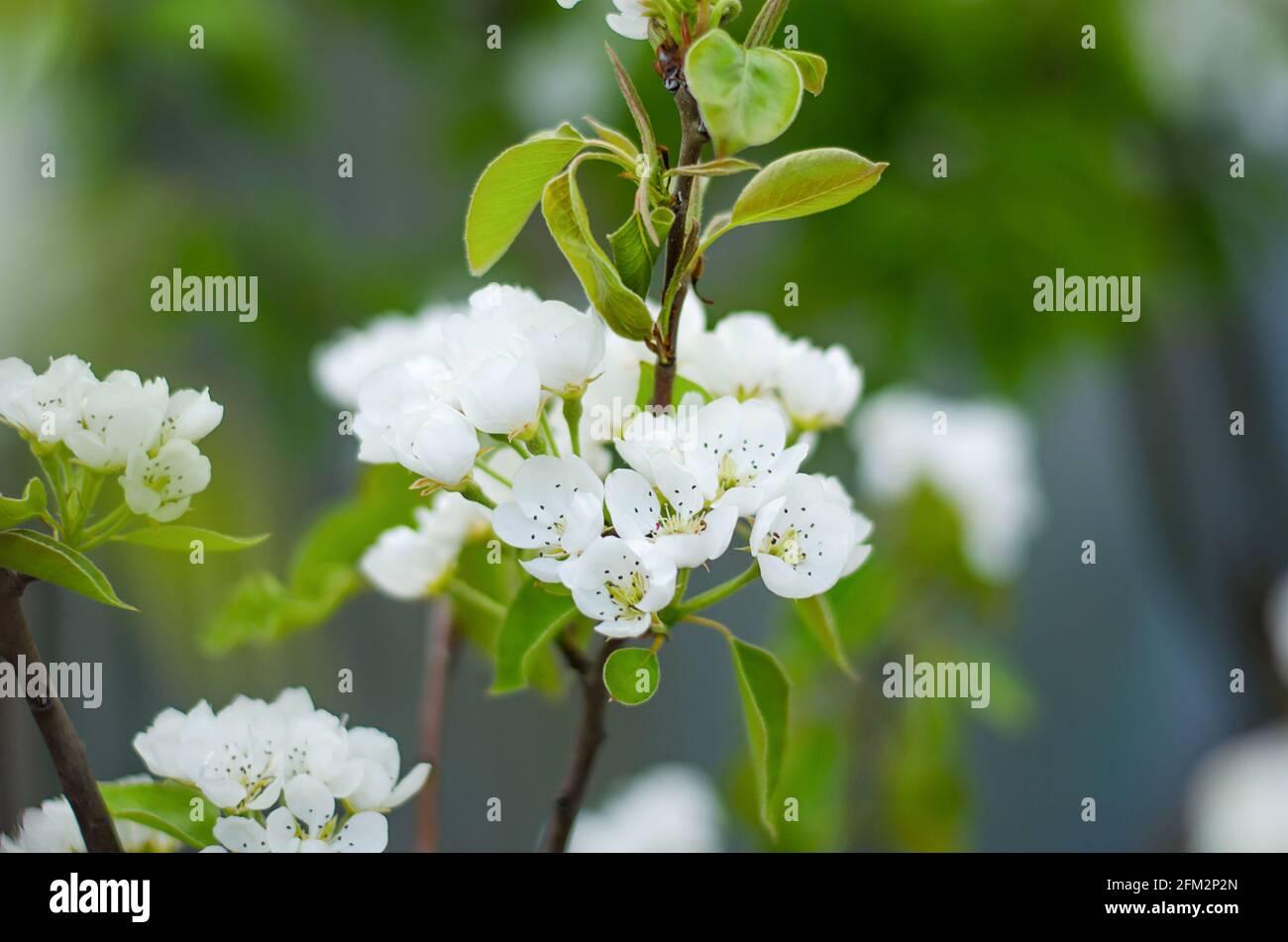 Flores de pera en flor. Jardín de primavera en flor. Primer plano. Flores. Preciosas vistas. Agricultura y agroindustria. Foto de stock