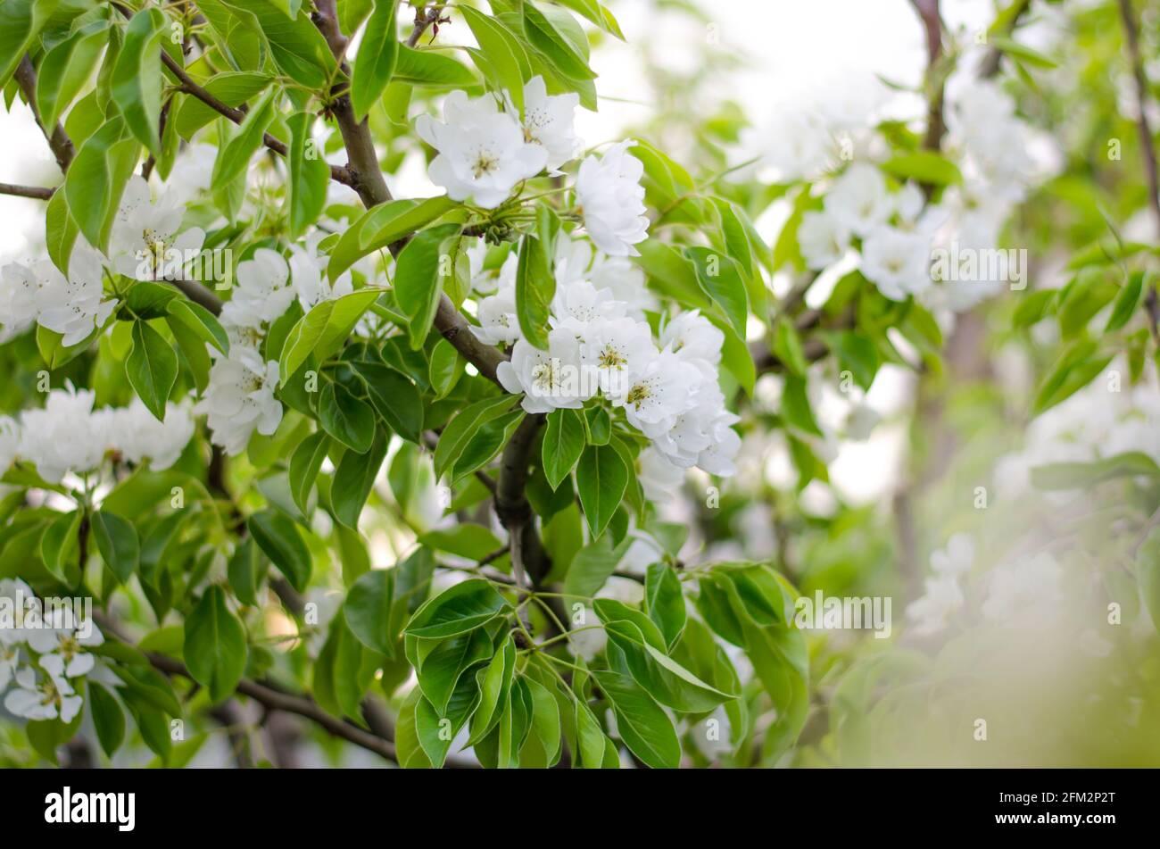 Flores de pera en flor. Jardín de primavera en flor. Flores. Preciosas vistas. Agricultura y agroindustria. Foto de stock