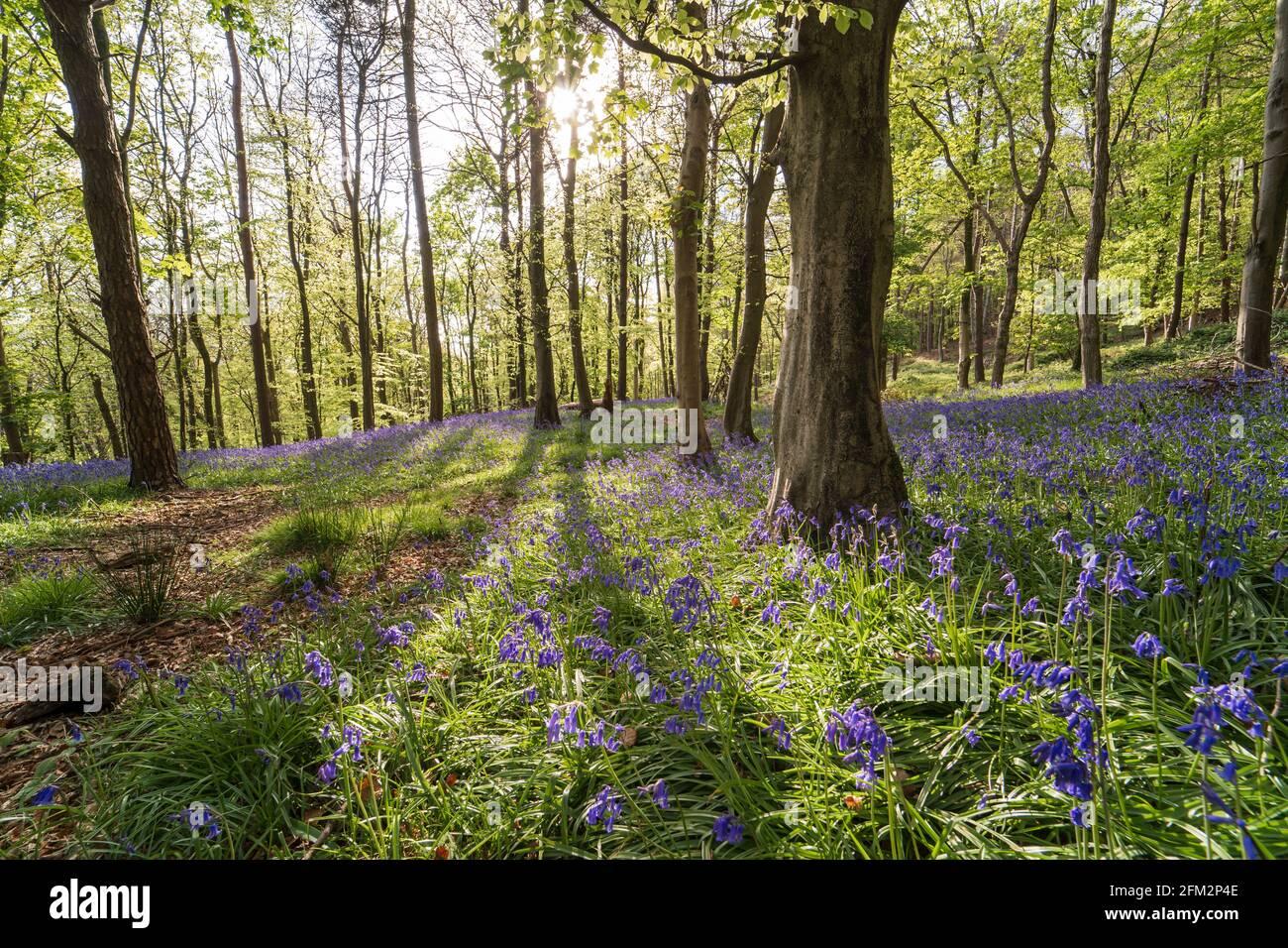 Bluebells en Graig Fawr Woods cerca de Margam Country Park al atardecer, Port Talbot, Gales del Sur, Reino Unido Foto de stock