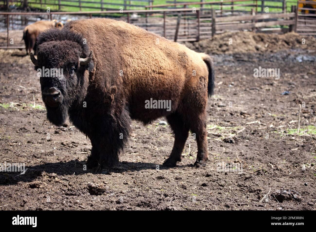 Búfalos pastando en un patio cercado, criado para uso doméstico. Pierz Minnesota MN EE.UU Foto de stock