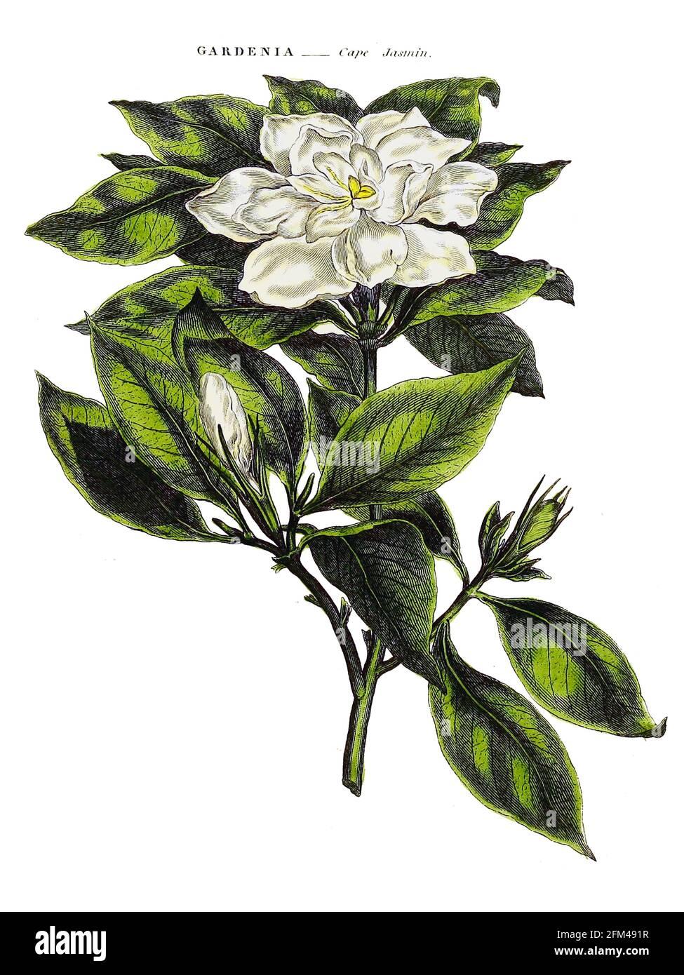 Gardenia, Cape Jasmine [aquí como Cape Jasmin], del Vol 1 del libro La herbaria universal : o diccionario botánico, médico y agrícola : conteniendo una cuenta de todas las plantas conocidas en el mundo, arreglado según el sistema linneano. Especificando los usos a los que son o pueden ser aplicados por Thomas Green, Publicado en 1816 por Nuttall, Fisher & Co. En Liverpool e Impreso en la Caxton Press por H. Fisher Foto de stock
