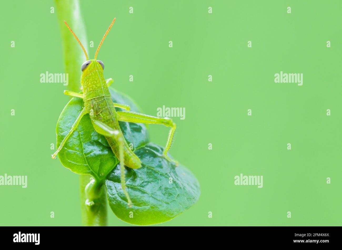 Saltamontes verdes colgando de la hoja sobre fondo verde Foto de stock
