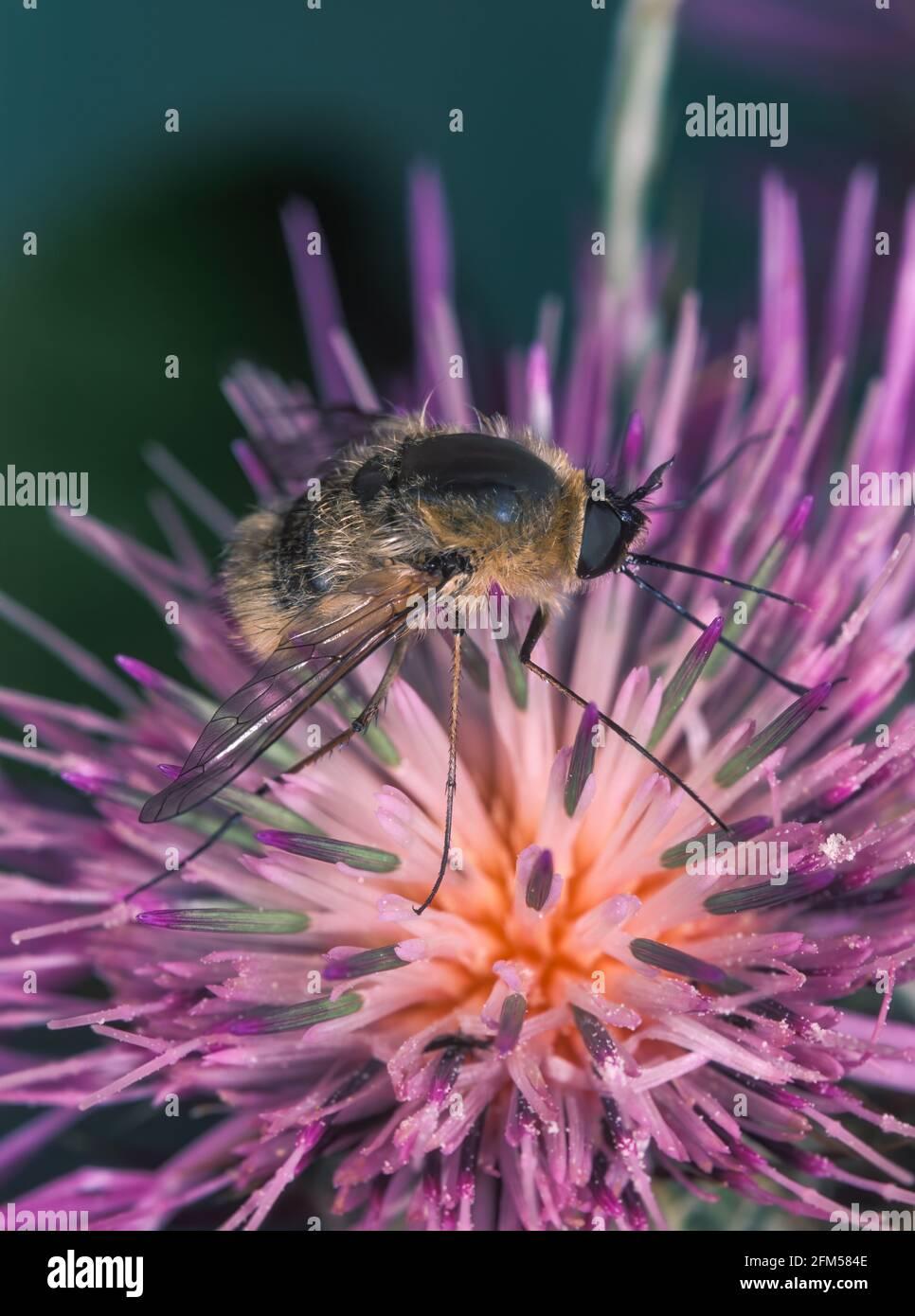 Gran mosca de la abeja, Bombylius Mayor. Es una mosca parasítica de la abeja. La mosca deriva su nombre de su parecido cercano a los abejorros y son a menudo Foto de stock