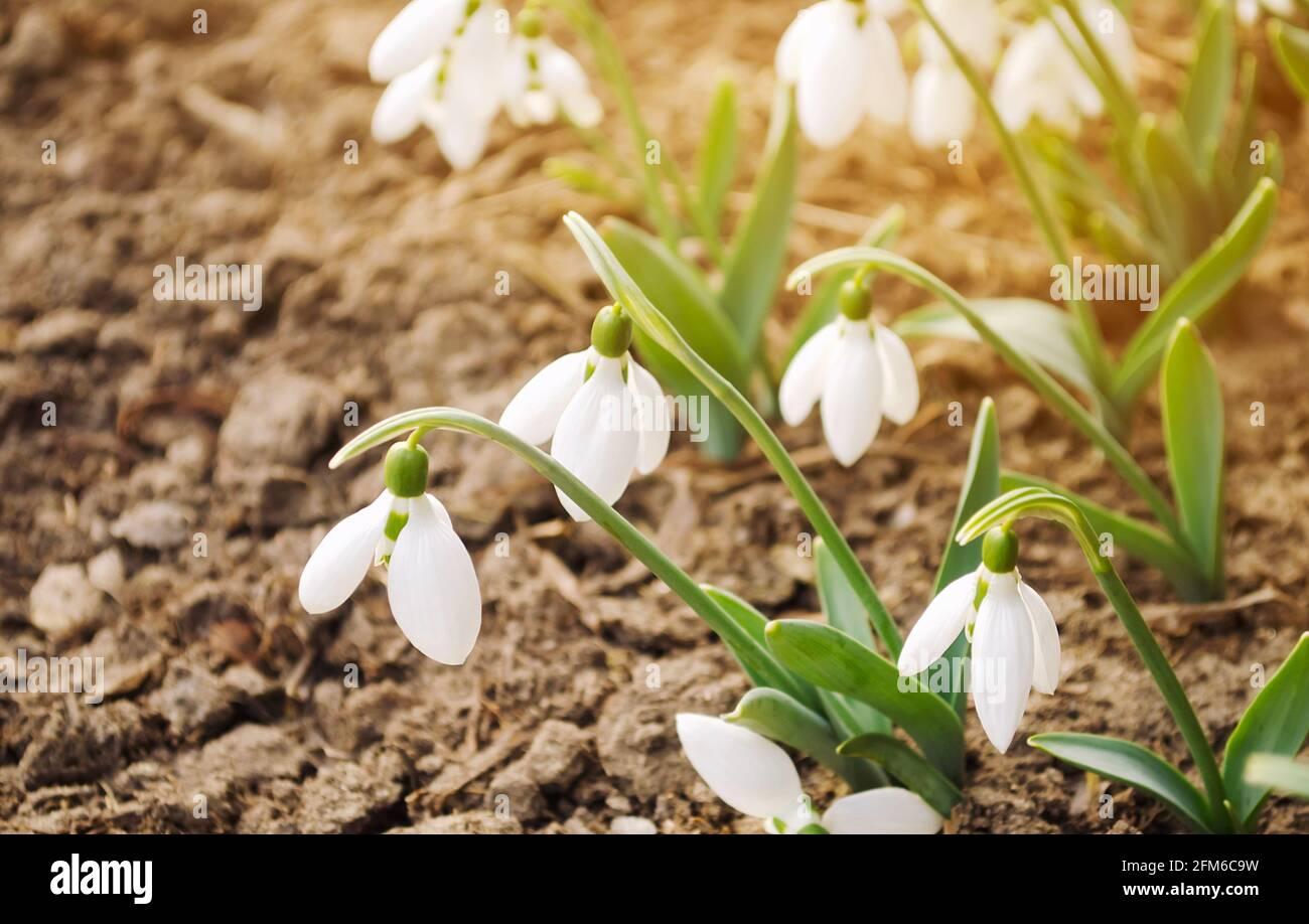 Hermosas nevadas blancas en el jardín de primavera. Flores fragantes de primavera. Naturaleza. Luz solar. Enfoque selectivo suave Foto de stock