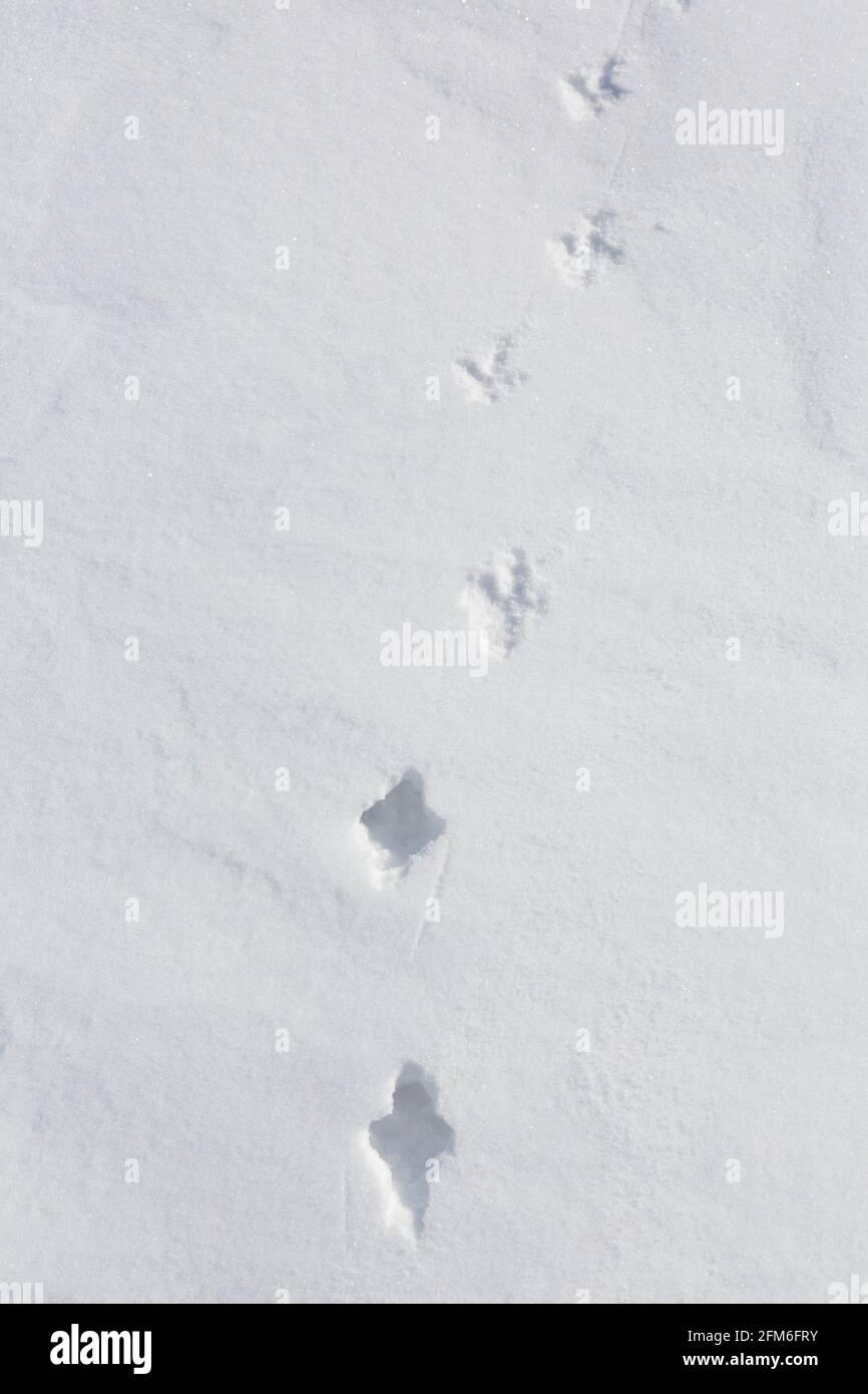 Roca ptarmigan (Lagopus muta / Lagopus mutus) pistas / huellas en la nieve en invierno mostrando transición de la nieve profunda a la corteza dura Foto de stock