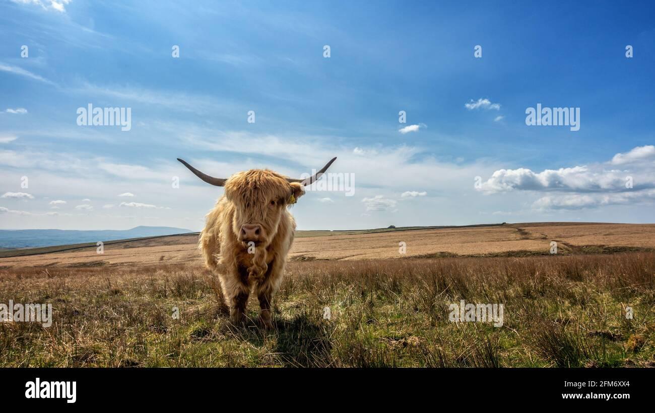 Paisaje del Reino Unido: Una linda vaca alta, mirando a la cámara, roza en ásperos pastos páramos al lado de un carril de campo entre Airton y se asienta en el Yor de Inglaterra Foto de stock