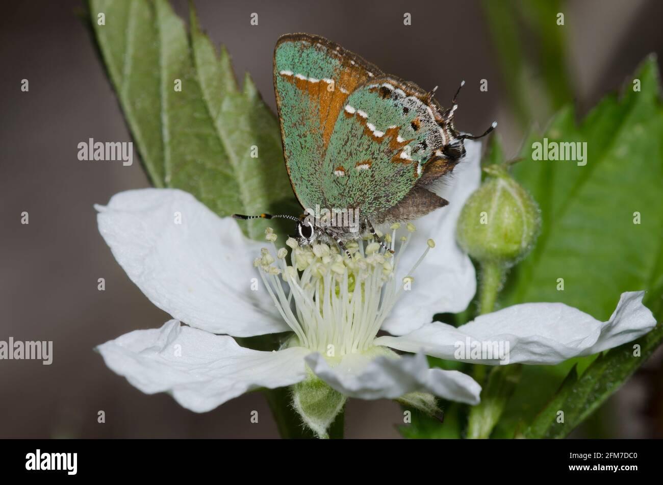 Juniper Hairstreak, Callophrys gryneus, nectaring de BlackBerry, Rubus sp. Foto de stock