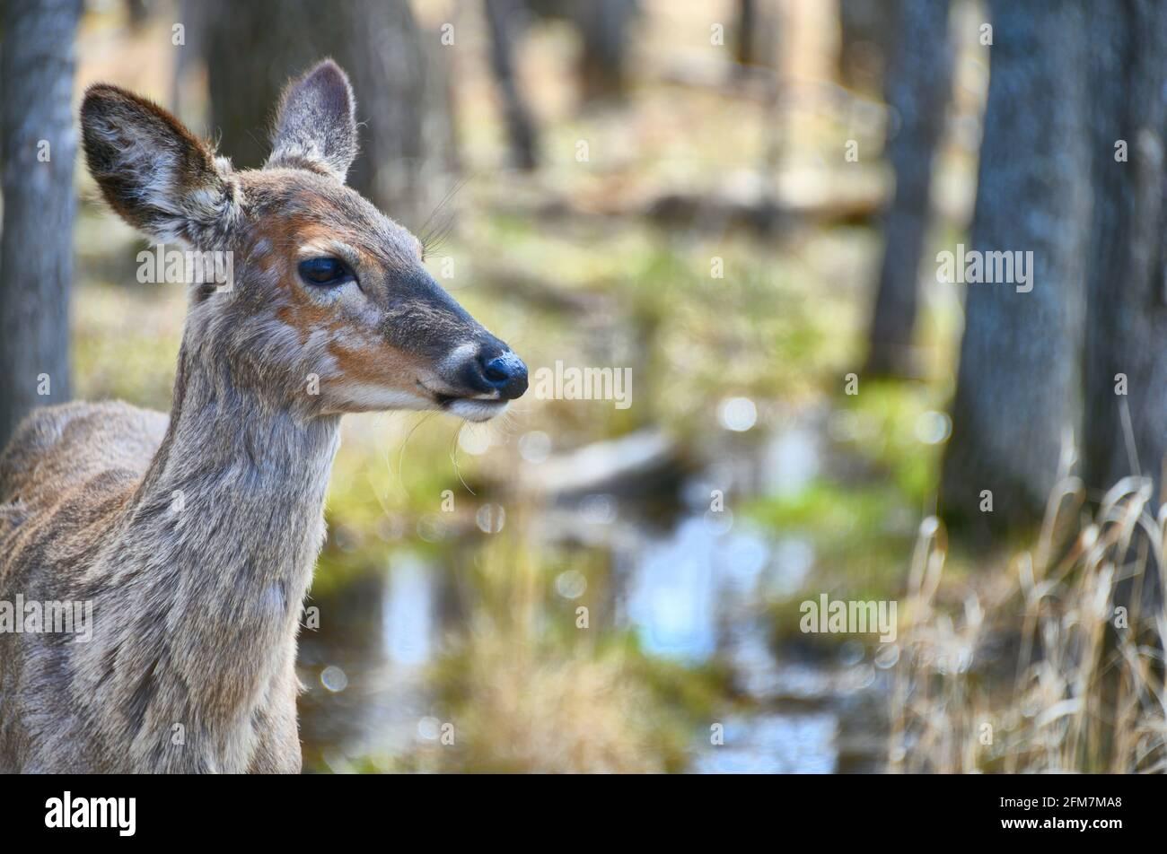 Una vista lateral de una doe de un año de pie en el bosque como ella pierde su abrigo de invierno. Foto de stock