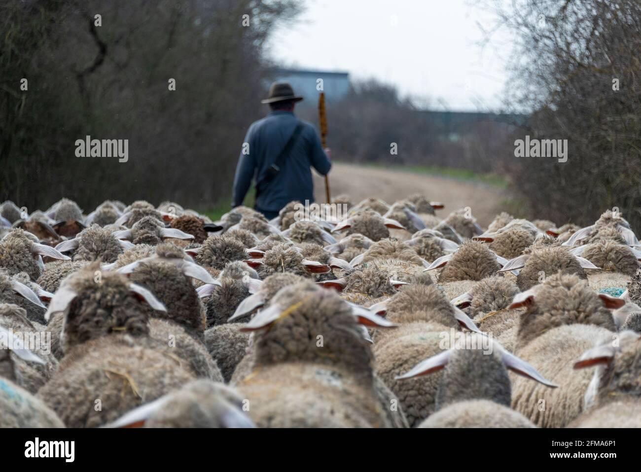 Pastor con rebaño de ovejas y perros pastores Foto de stock