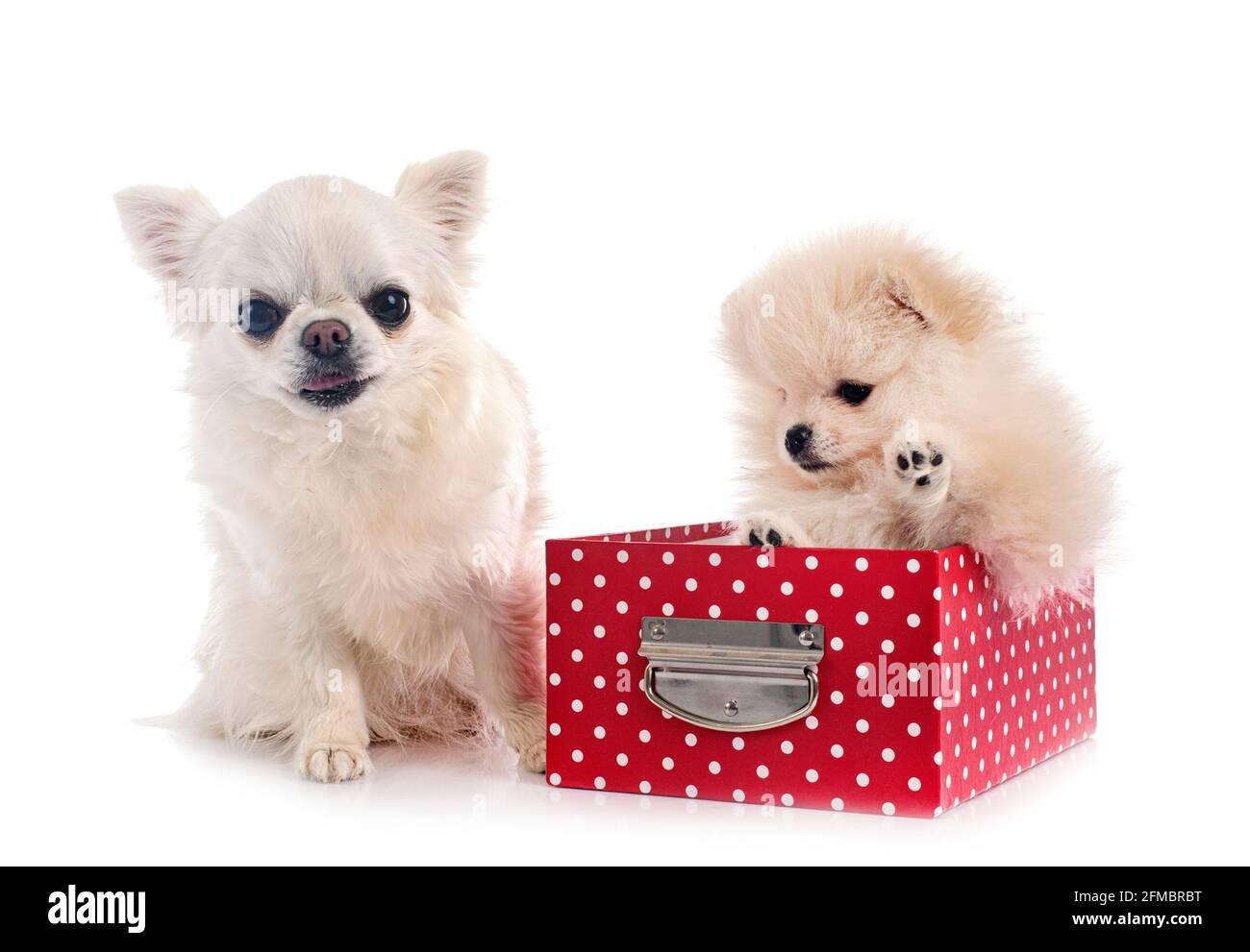 Chihuahua y Pomerania jóvenes delante de un fondo blanco Foto de stock