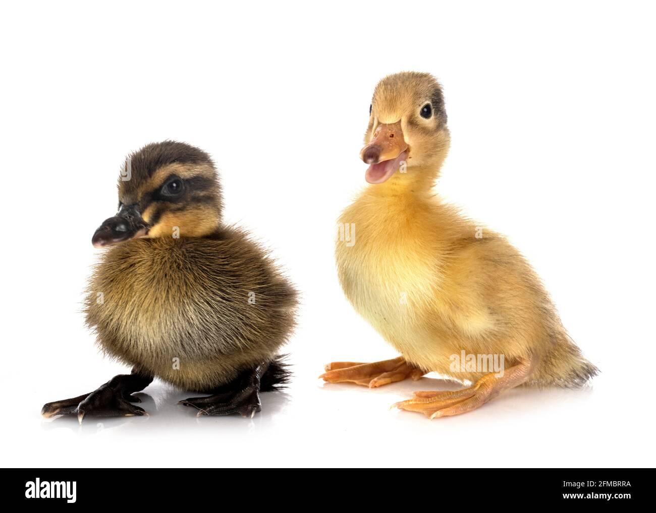 pequeños patos delante de fondo blanco Foto de stock