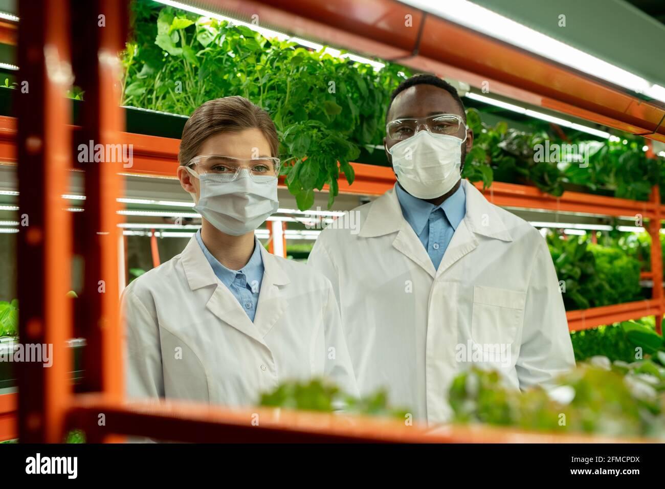 Retrato de jóvenes trabajadores de invernadero multiétnicos confiados en máscaras y. abrigos blancos que se levantan contra el estante con varios tipos de lechuga Foto de stock