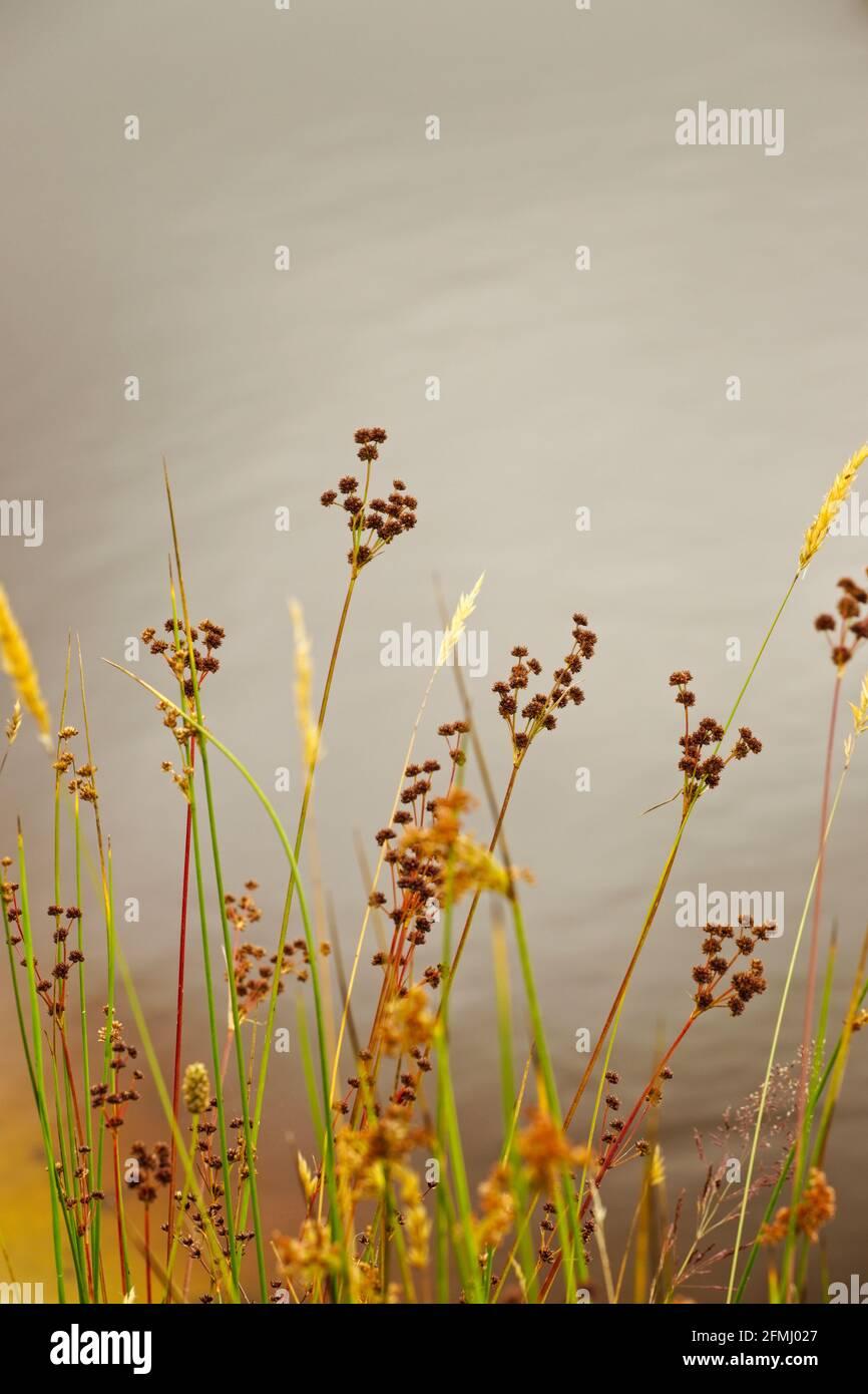 Los humedales plantan las cabezas de semillas en verano al lado de un estanque con reflejos del cielo borrosos en el fondo. Foto de stock
