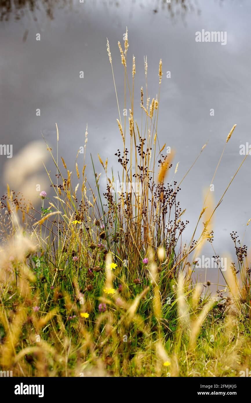 Pastos de verano con cabezas de semillas al lado de un estanque con reflejos del cielo en el agua en el fondo. Foto de stock