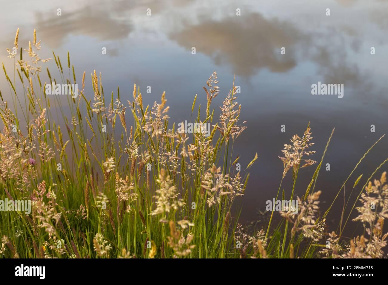 Pastos de verano al lado de un estanque con el cielo reflejado en el agua en el fondo. Foto de stock