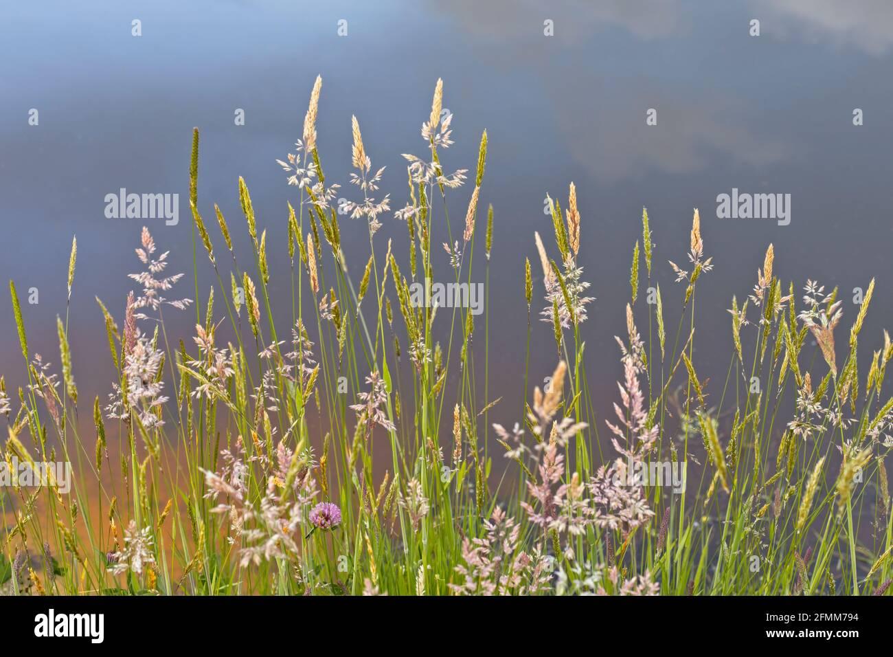 Pastos de verano con cabezas de semillas al lado de un estanque con el cielo reflejado en el agua en el fondo. Foto de stock