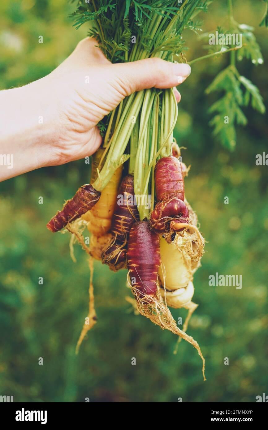 Grupo colorido de zanahorias recién cosechadas Foto de stock