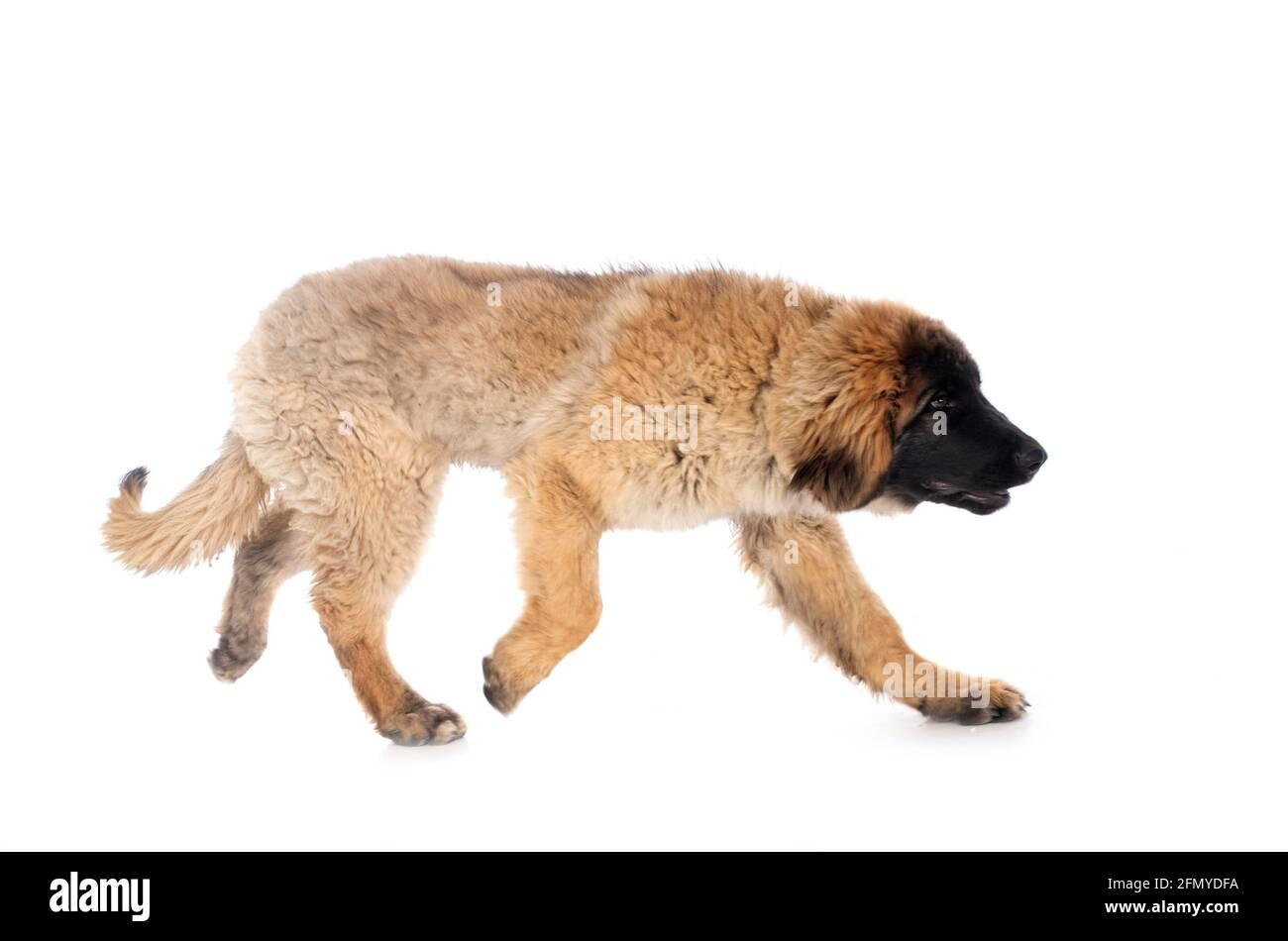 El cachorro Leonberger frente al fondo blanco Foto de stock