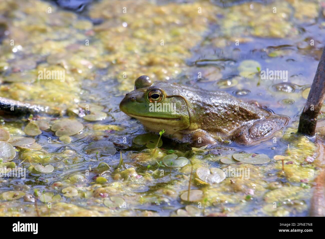 Lithobates catesbeianus - una serie de fotos que muestran lo impresionante el basking anfibio Foto de stock