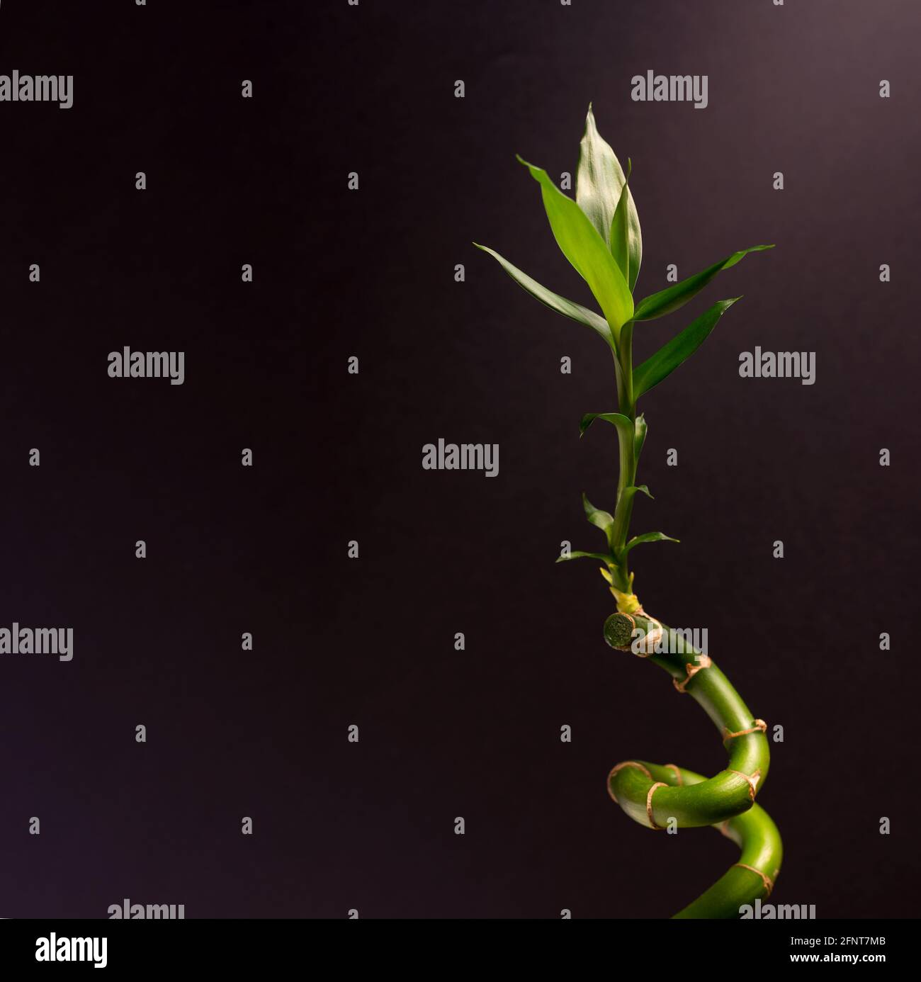 Green Lucky bambú o Drena Houseplant cerca contra el fondo negro. Foto de stock