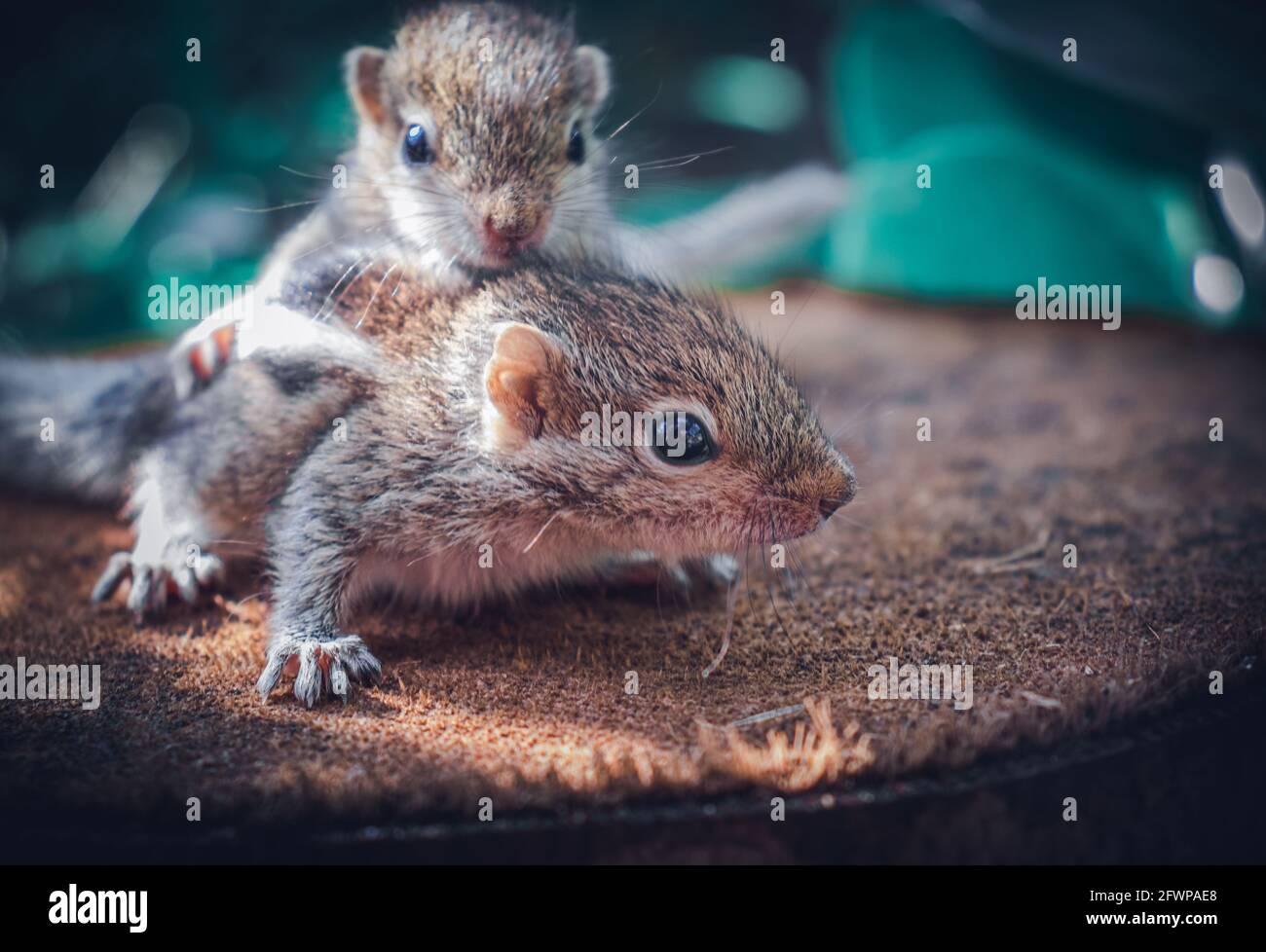 El bebé de la ardilla del hermano pequeño monta a los hermanos grandes detrás, fotografía adorable linda animal-temática, los bebés de la ardilla de la palma de tres-rayados son abandonados por el paren Foto de stock
