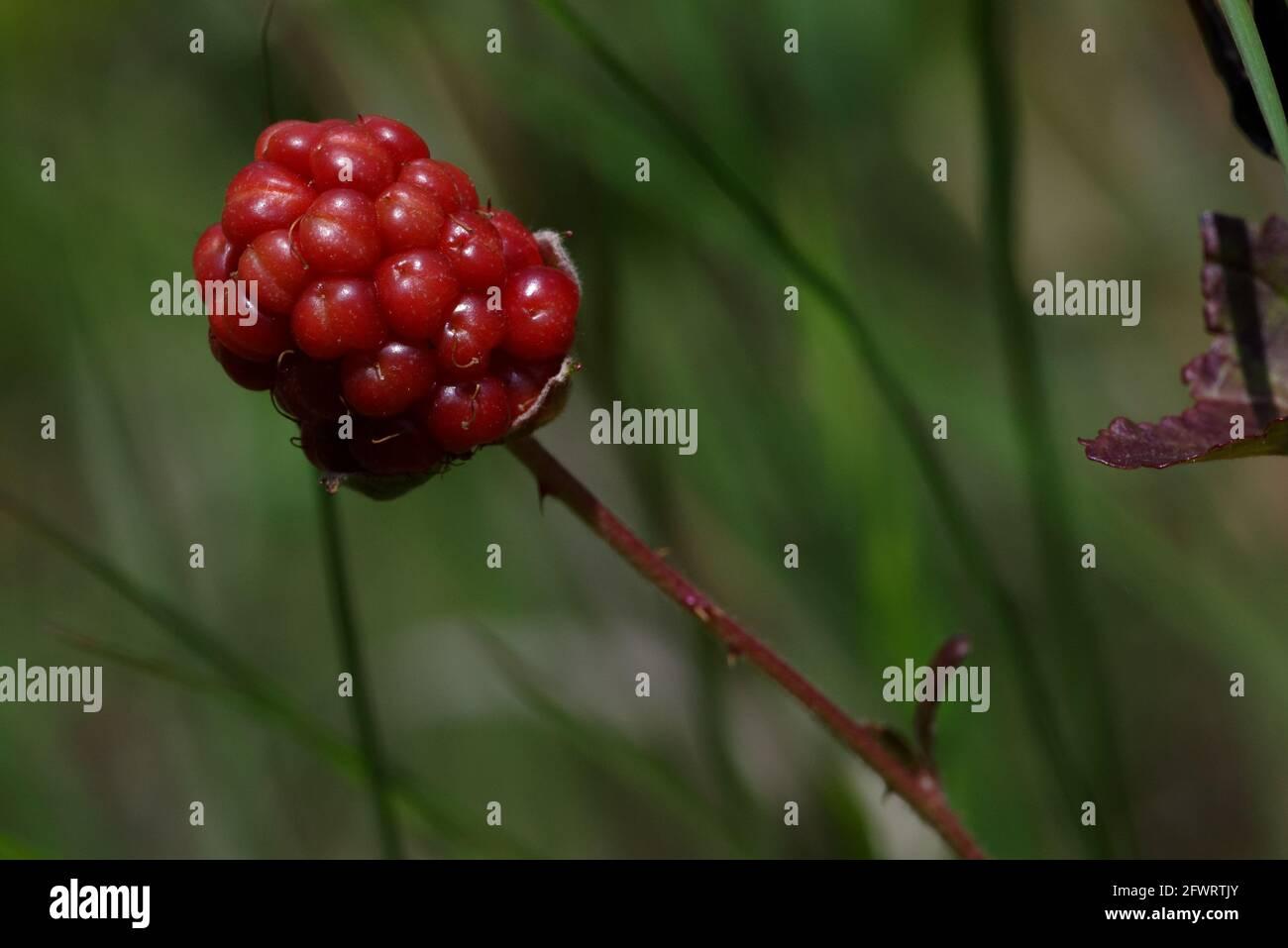 Fruta inmadura de arándano Foto de stock