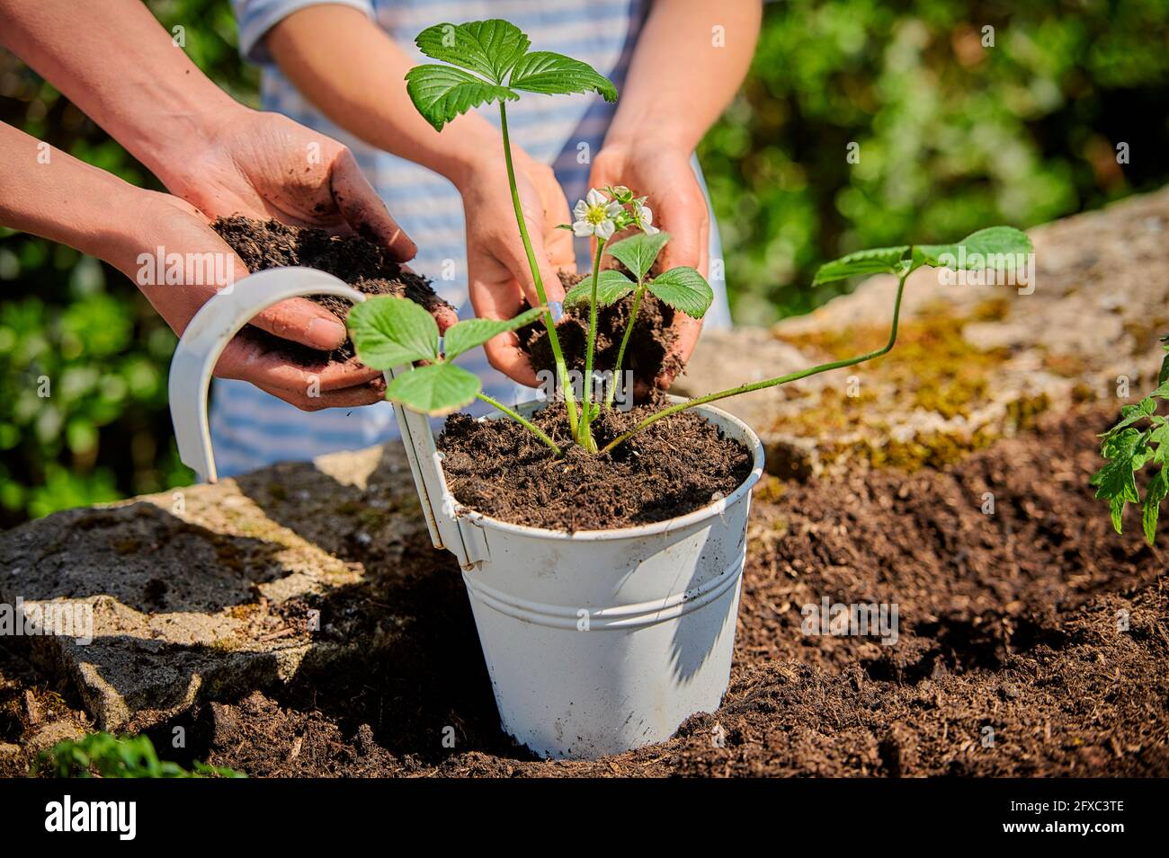 Madre con hija poniendo el suelo en la olla mientras plantando la planta de fresa en el jardín Foto de stock