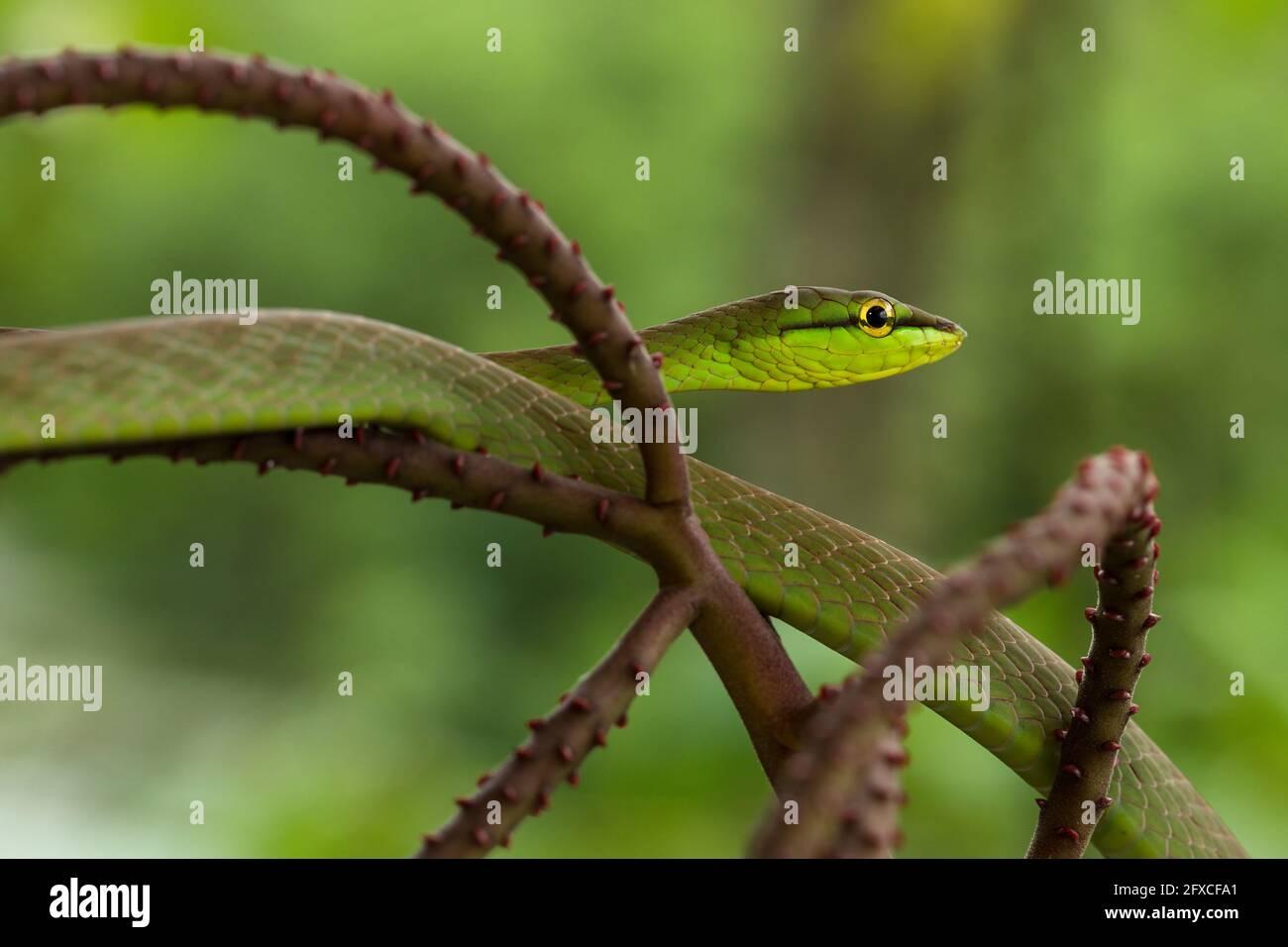 La serpiente de nariz corta - Oxybelis brevirostris, es una serpiente arbórea que prey principalmente en ranas y lagartos de árbol. Foto de stock