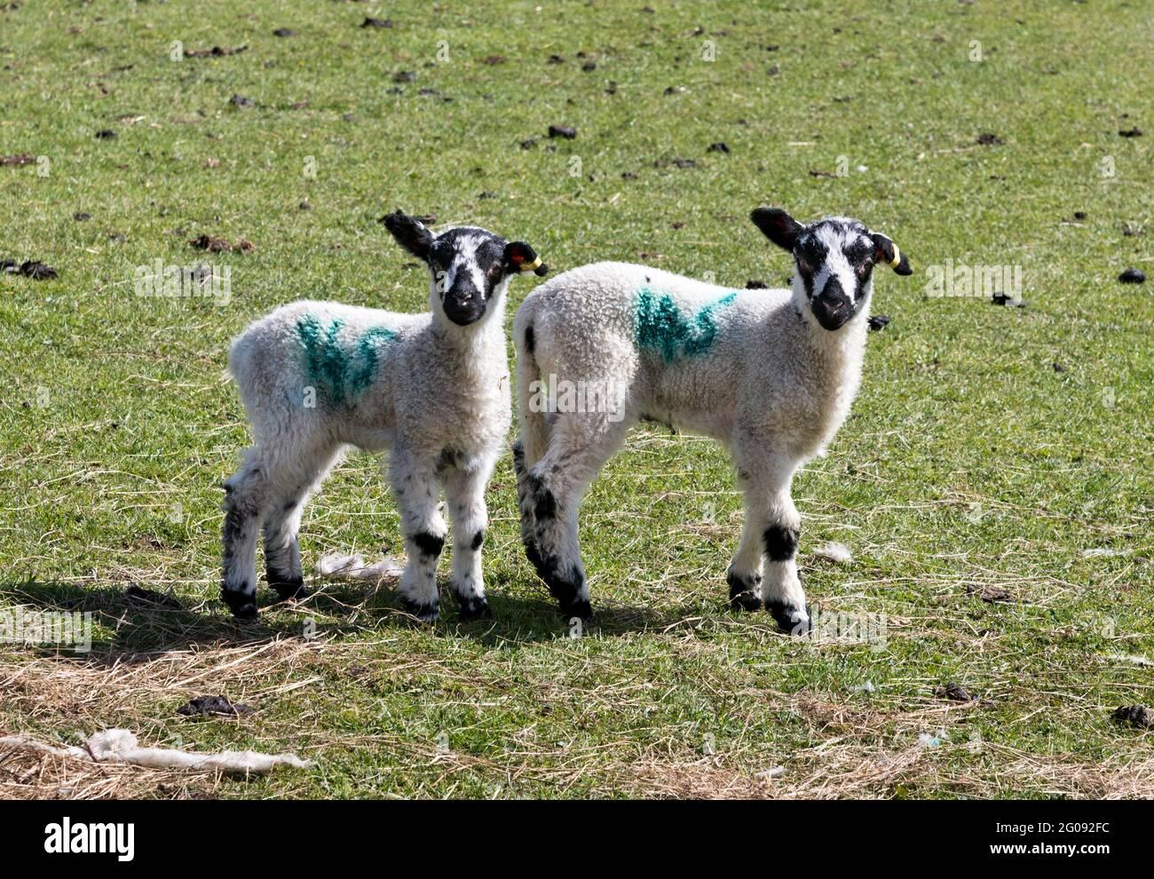 Dos corderos jóvenes en Muker, Swaledale, North Yorkshire, Reino Unido. Los corderos son North Country Mules, una conocida raza cruzada Yorkshire Dales. Foto de stock