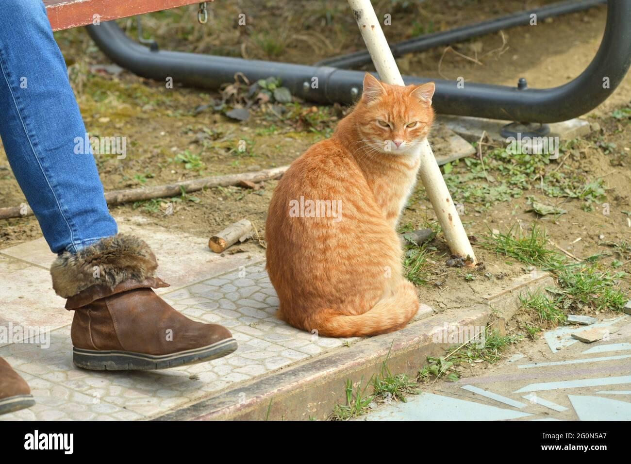 Gatos domésticos para acurrucarse a los humanos y dormir sobre sus rodillas Foto de stock