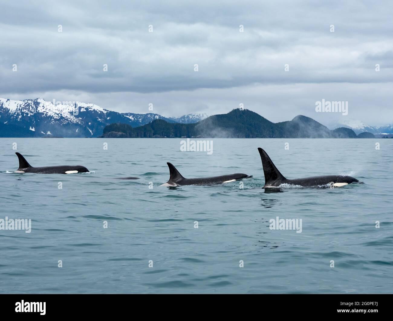 Residente Orcinus orca de la vaina AG en el paso interior del sudeste de Alaska, EE.UU Foto de stock