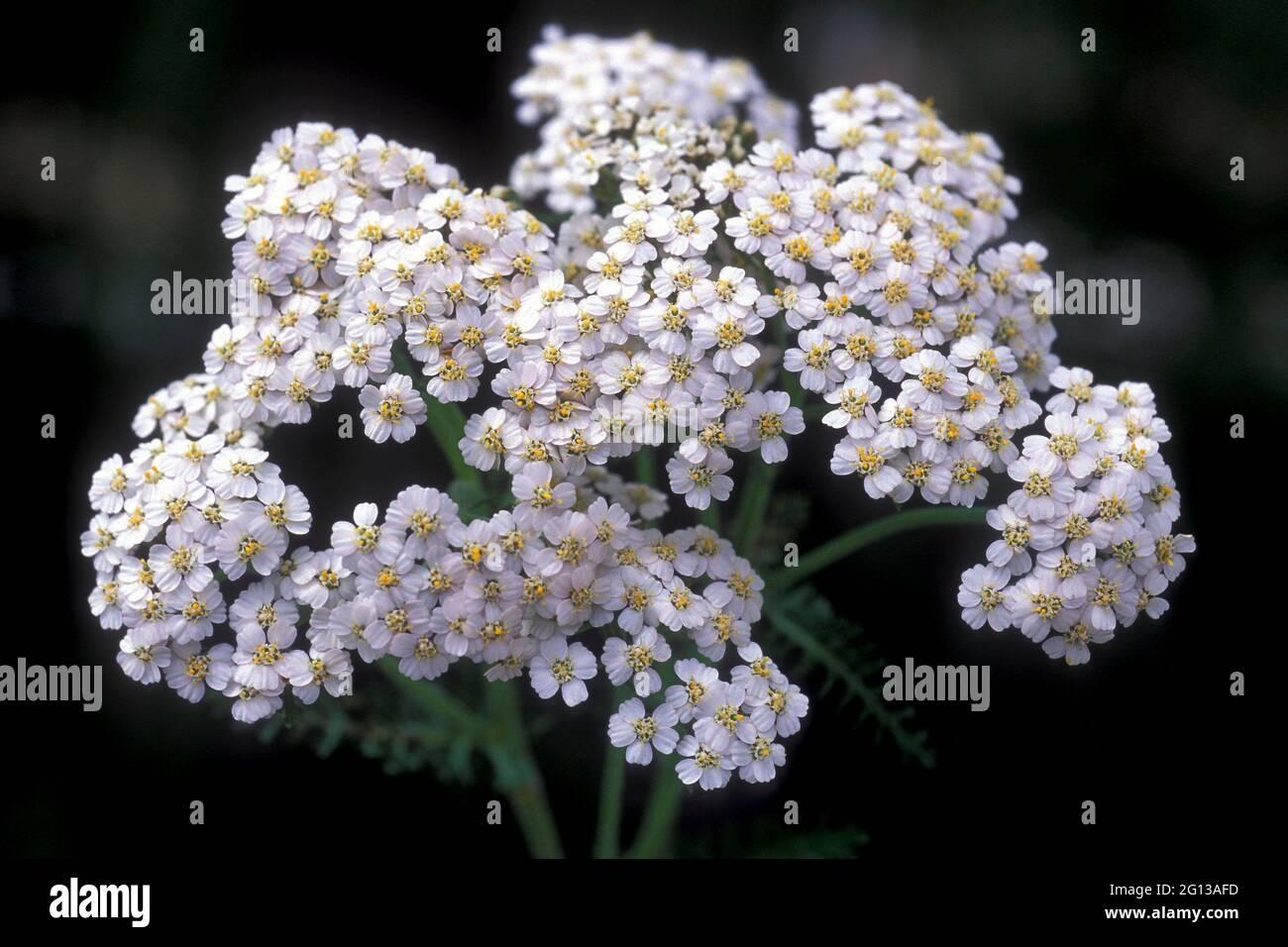 Yarrow (Achillea millefolium) es una planta medicinal perenne nativa de Europa, Asia y Norteamérica. Esta foto fue tomada en Val d'Aran, Lleida, Foto de stock