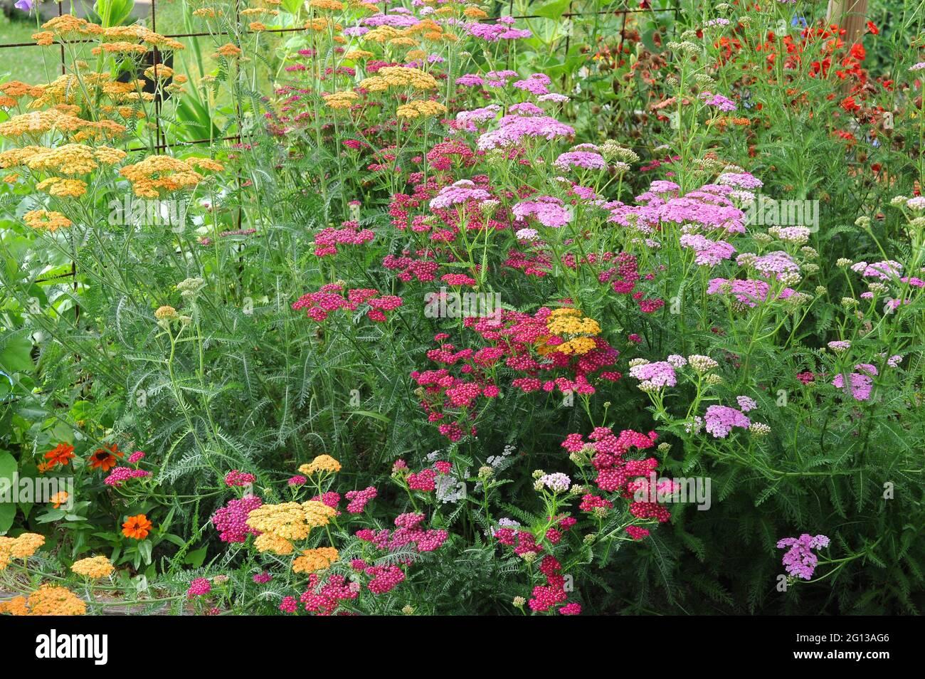 Variedades ornamentales de Yarrow (Achillea millefolium). Yarrow es una planta herbácea perenne nativa de Europa, Asia y Norteamérica. Esta foto era Foto de stock