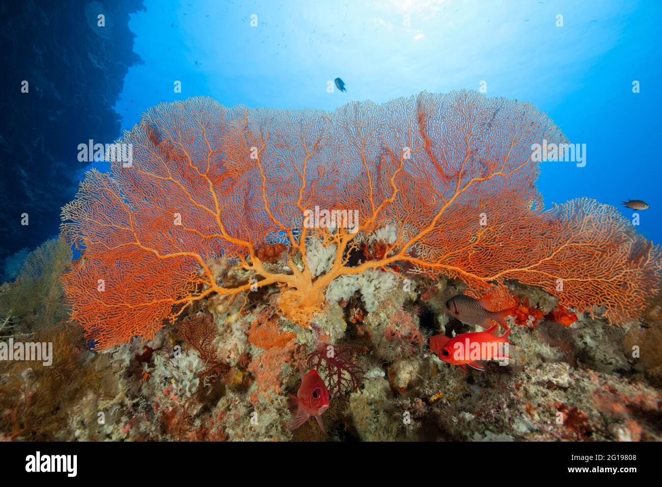 Soldierfishes Under Sea Fan, Annella mollis, Siaes Wall, Micronesia, Palau Foto de stock