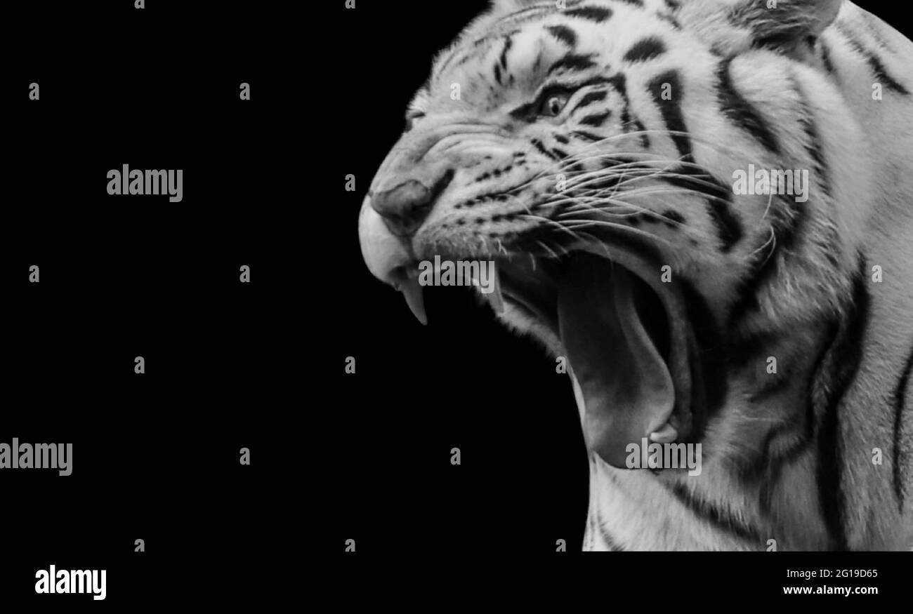 Retrato de Tigre en blanco y negro Roaring en el fondo negro Foto de stock