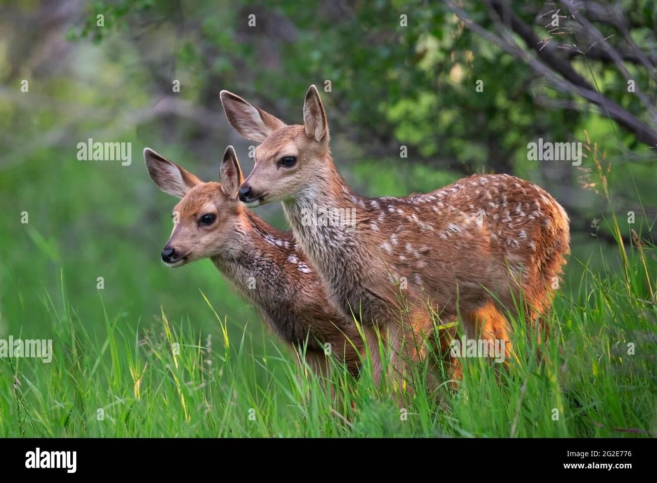 Manada gemela de ciervo de pie en prado Foto de stock