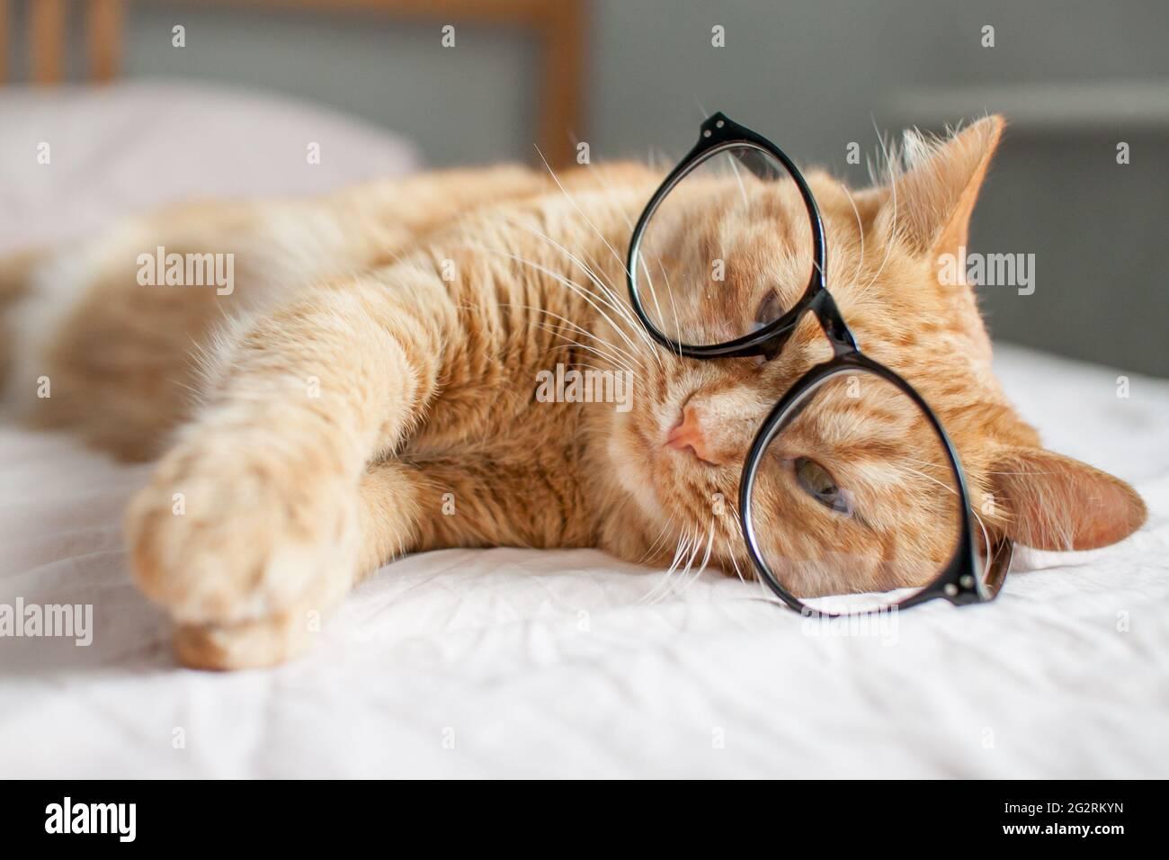 gracioso gato gordo jengibre miente en la cama y juega con gafas en marcos negros. Comienzo de un nuevo año escolar Foto de stock