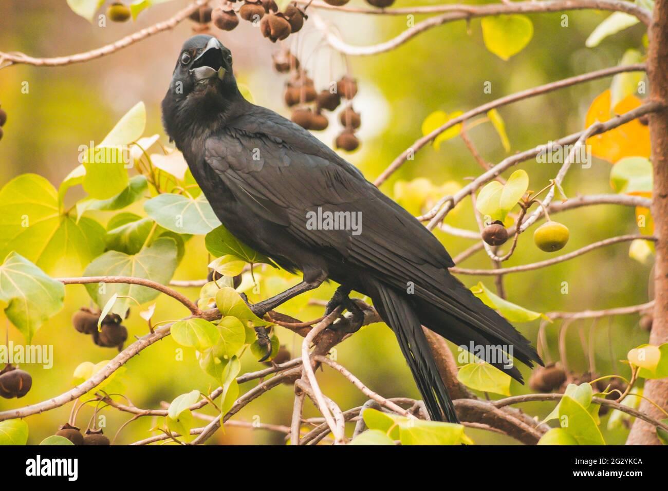 Carruon cuervo en rama con naturaleza de primavera animales brid fondo de vida silvestre. Foto de stock