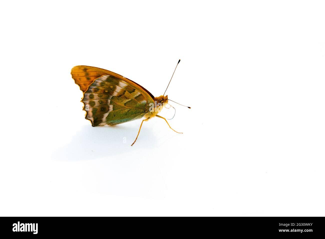 Mariposa. Los Nymphalidae son la familia de mariposas más grande, con más de 6.000 especies distribuidas en la mayor parte del mundo. Perteneciente a. Foto de stock