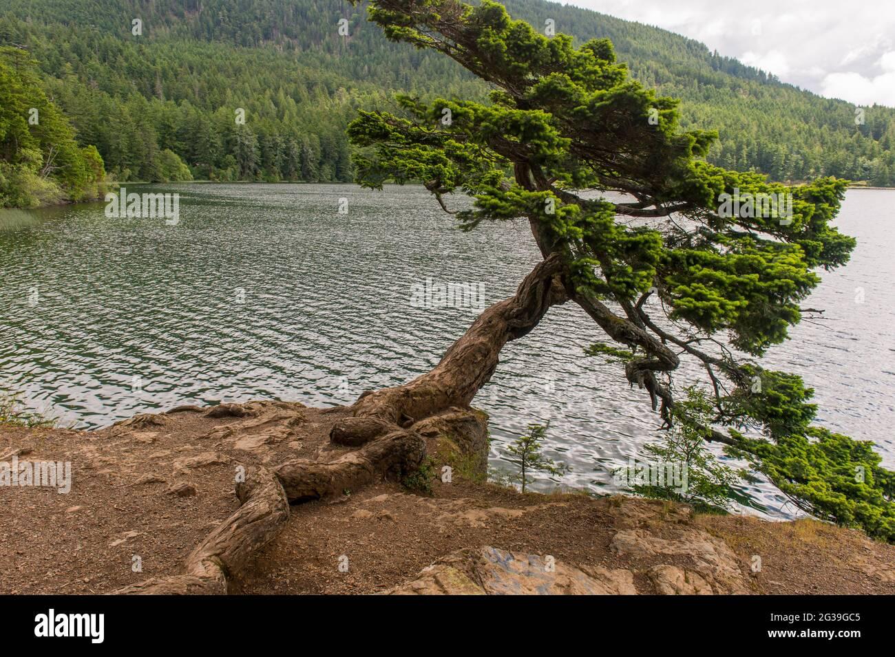 Un abetos Douglas en forma de viento que se apoya sobre la orilla del Lago Cascade en el Parque Estatal Moran en la Isla Orcas, en las Islas San Juan en el Estado de Washington Foto de stock