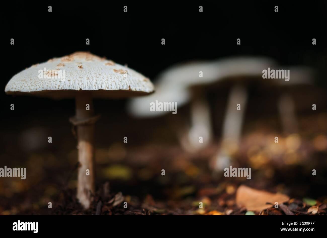 Las setas en el bosque Foto de stock