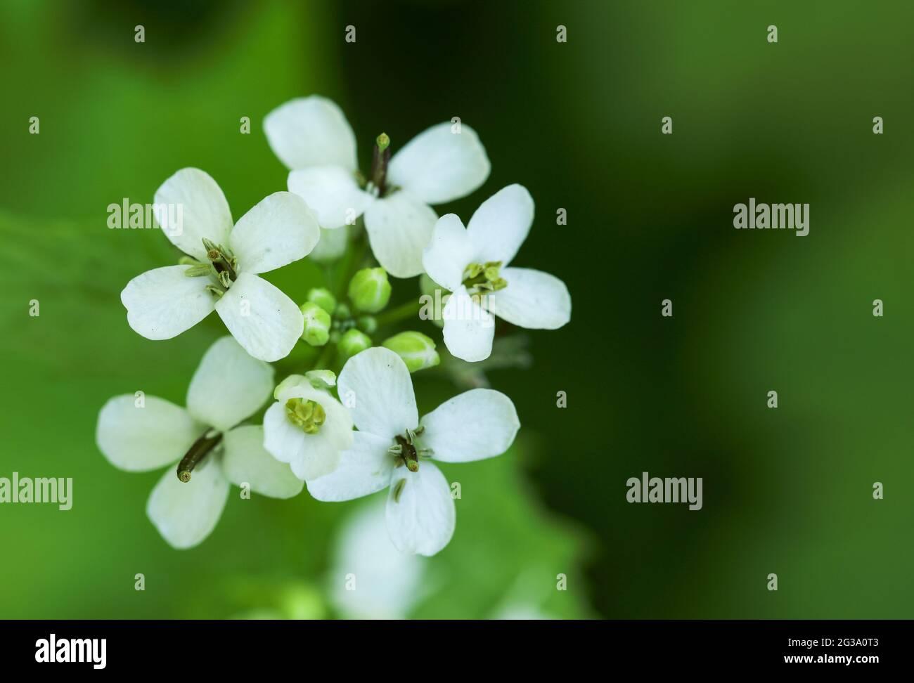 Alliaria petiolata ajo (mostaza) Foto de stock
