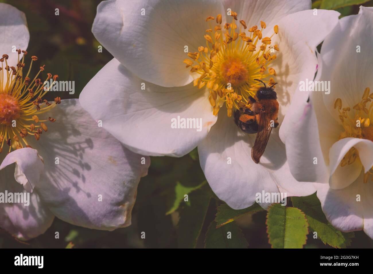Una abeja y una pequeña rosa blanca, el perro se levantó y una abeja, macro fotografía artística, abeja en una pequeña rosa blanca Foto de stock