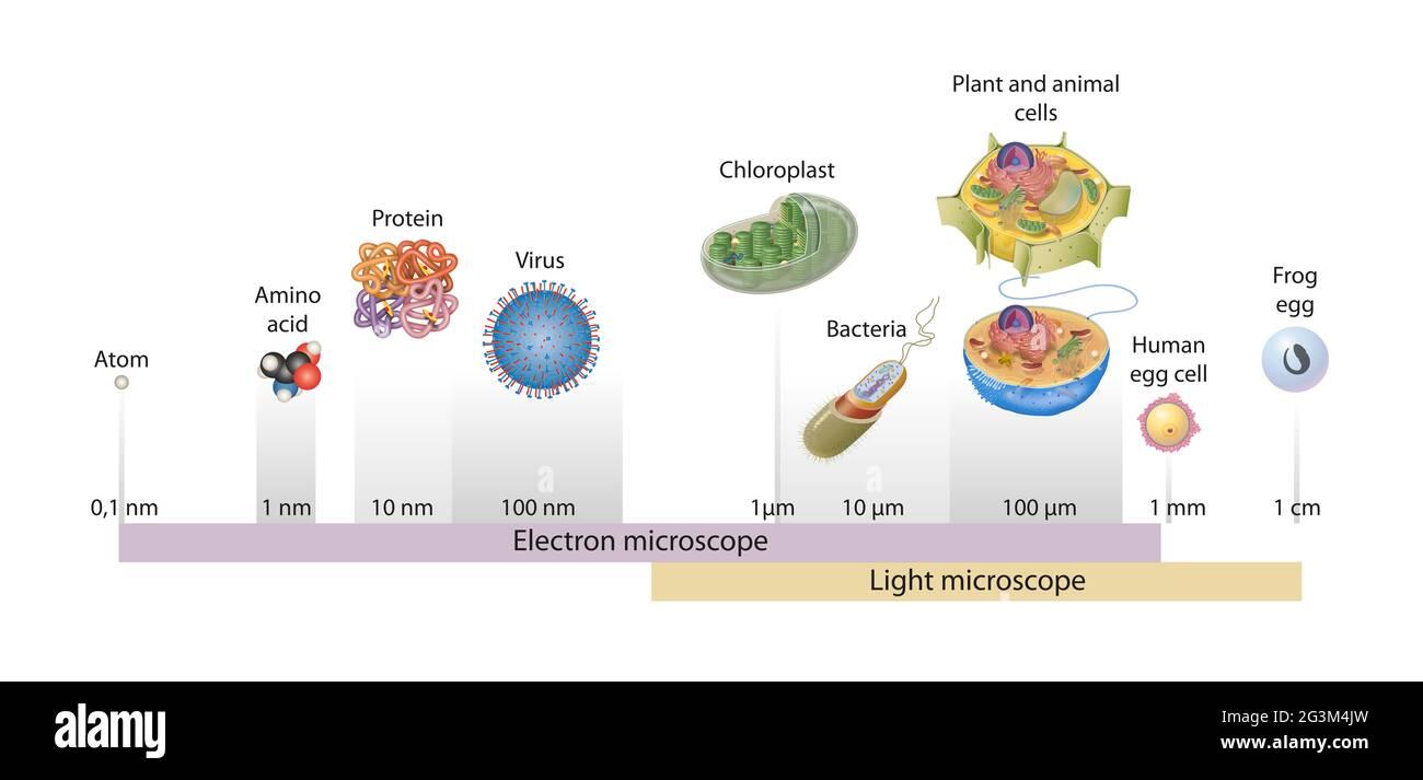 Tamaños de células dibujadas en una escala logarítmica, indicando el rango de objetos fácilmente resolubles en el microscopio de luz y de electrones Foto de stock
