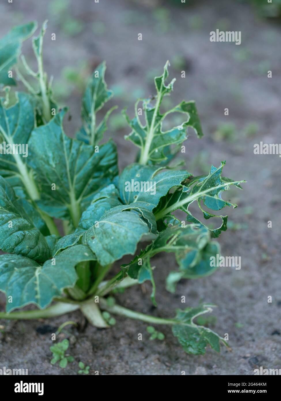 Tatsoi (Brassica narinosa) comido por babosas Foto de stock