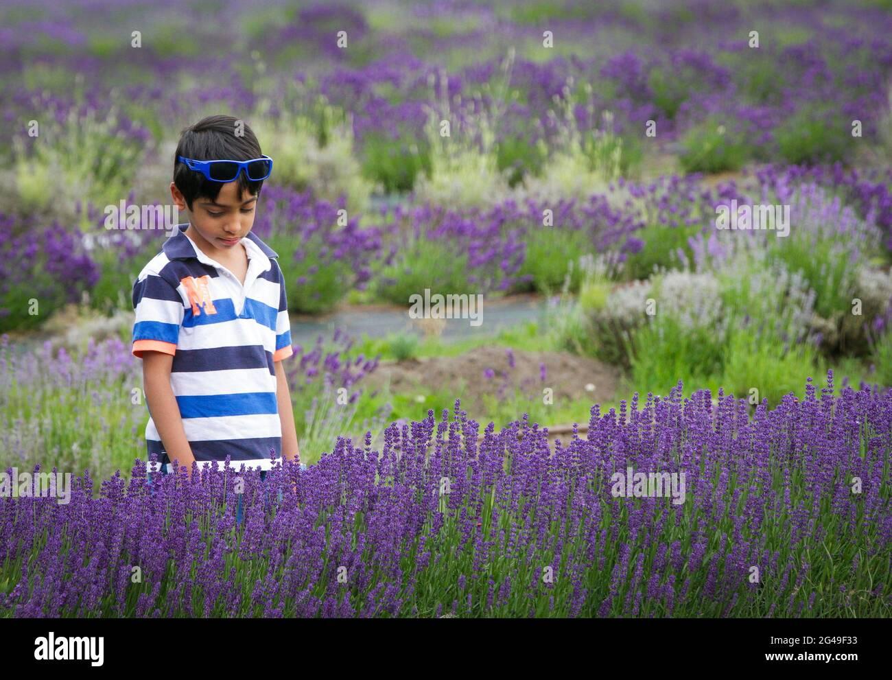 Richmond, Canadá. 19th de junio de 2021. Un niño visita una granja de lavanda en Richmond, British Columbia, Canadá, 19 de junio de 2021. Crédito: Liang Sen/Xinhua/Alamy Live News Foto de stock