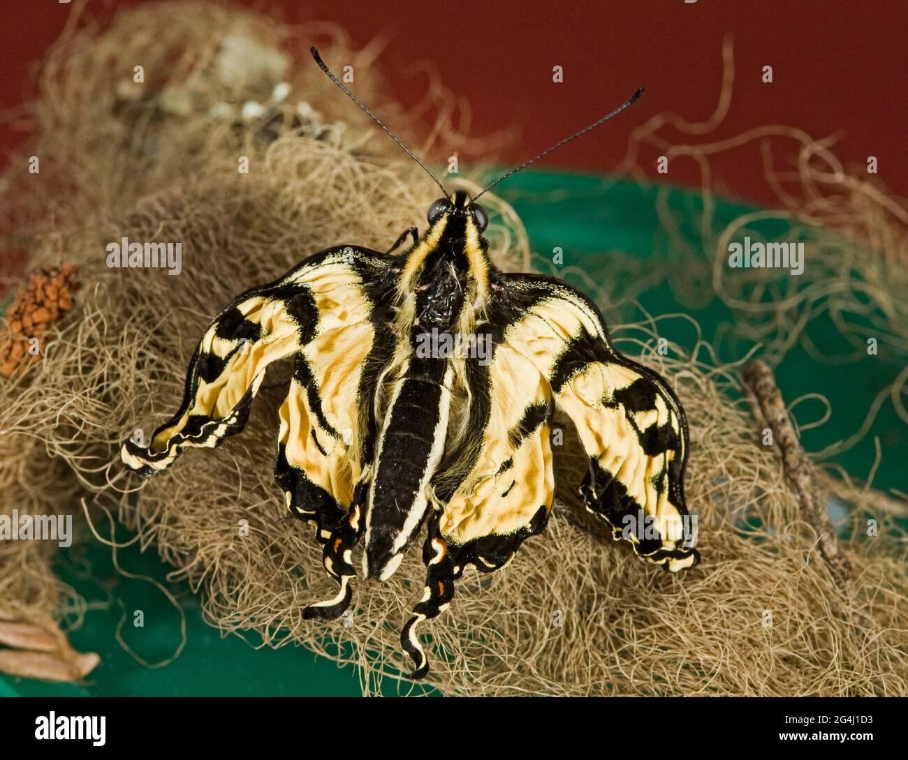 Una mariposa de cola de cisne de tigre occidental recientemente perdida que sufre de ofriocystis elektroscirrha, una infección que impide que sus alas se llenen de fl Foto de stock