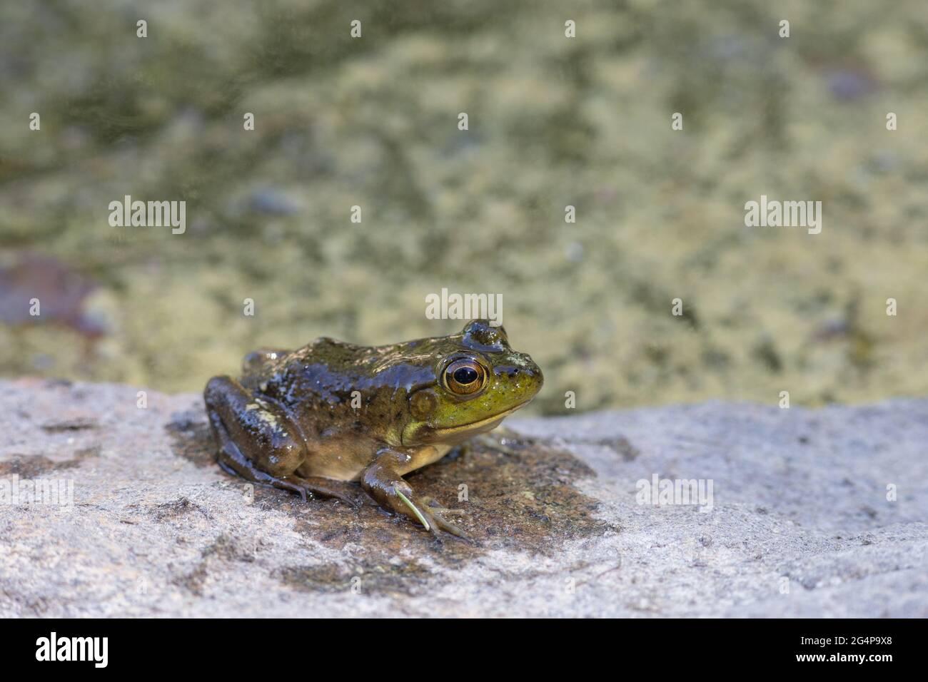 Una rana toro juvenil americana (Lithobates catesbeianus) descansa sobre una roca al lado de un estanque. El anfibio está húmedo, habiendo emergido del agua en algo Foto de stock