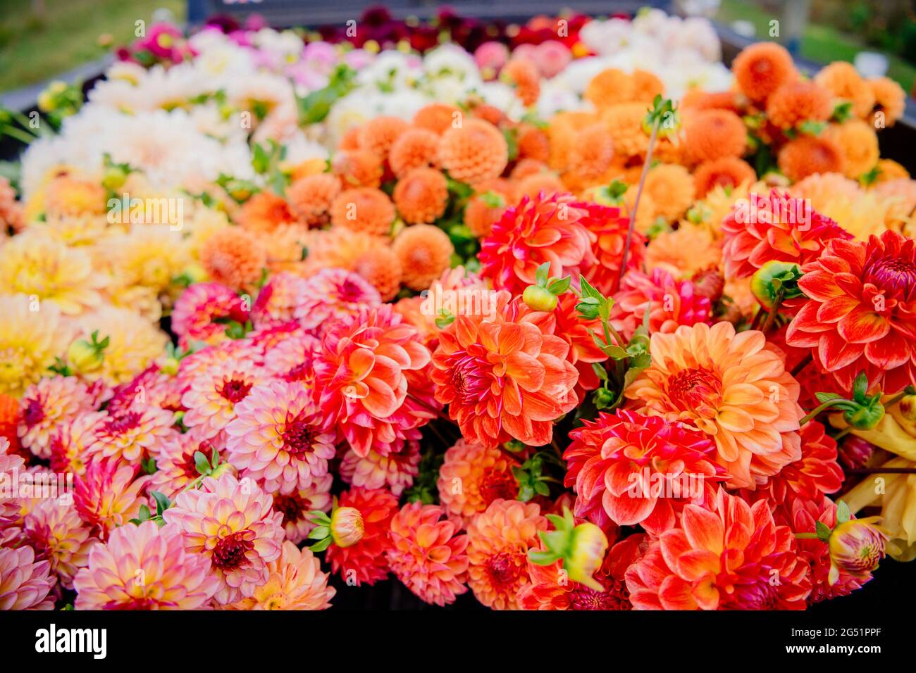 Un montón de flores Dahlia en la parte trasera del camión Foto de stock
